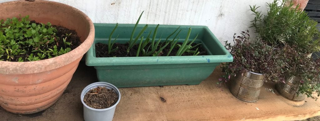 homegrown spring onions